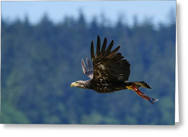 Wa-6-12-neah Bay-eagleimm2 Greeting Card