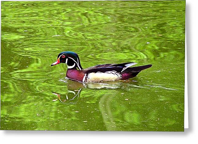 Water Wood Duck Greeting Card by Wendy McKennon