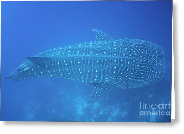 Whale Shark Greeting Card by Sami Sarkis