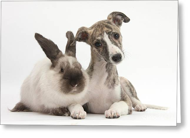 Whippet Pup With Colorpoint Rabbit Greeting Card by Mark Taylor