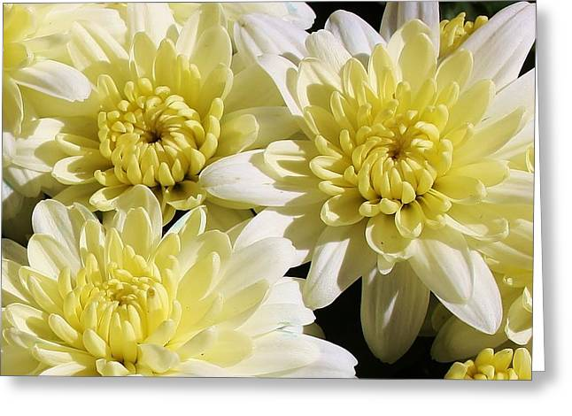 White Mums Greeting Card by Bruce Bley