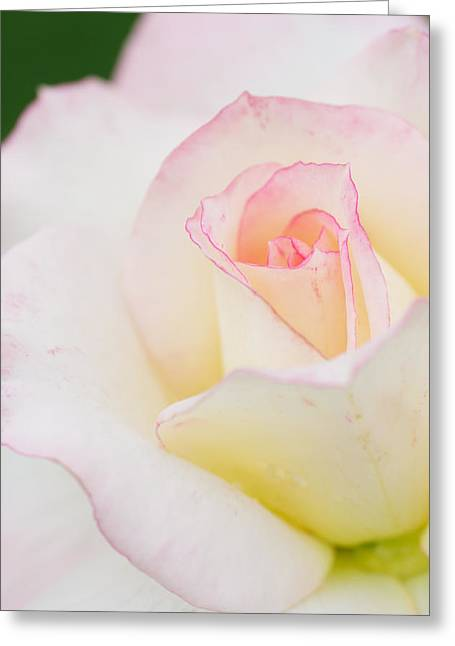 White Rose With Pink Edge Greeting Card