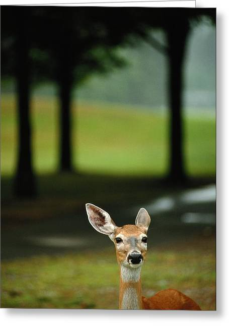 White-tailed Deer Odocoileus Greeting Card