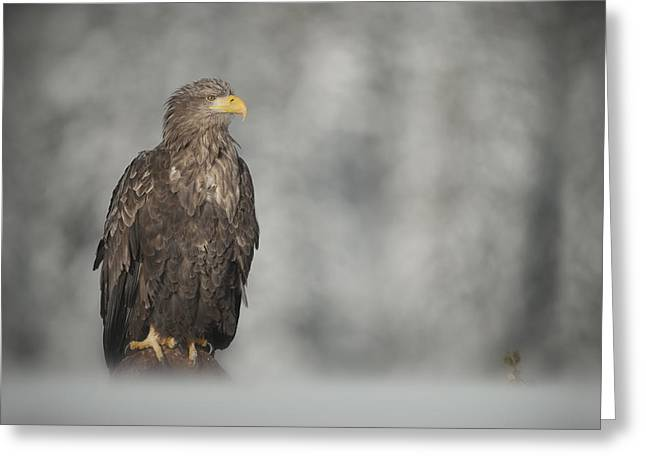 White-tailed Eagle Greeting Card by Andy Astbury