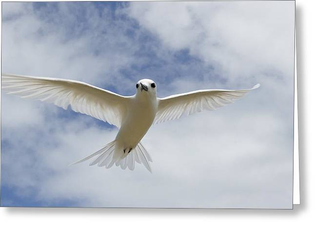 White Tern Flying Midway Atoll Hawaiian Greeting Card by Sebastian Kennerknecht