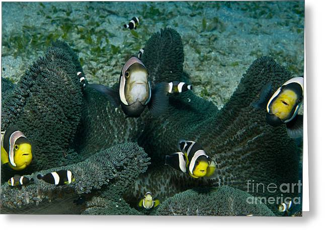 Whole Family Of Clownfish In Dark Grey Greeting Card by Mathieu Meur