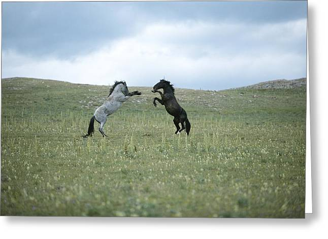 Wild Horses Spar Over Territory Or Greeting Card by Chris Johns