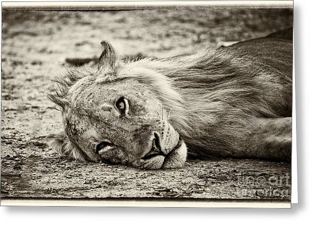 Wild Lion Portrait Greeting Card