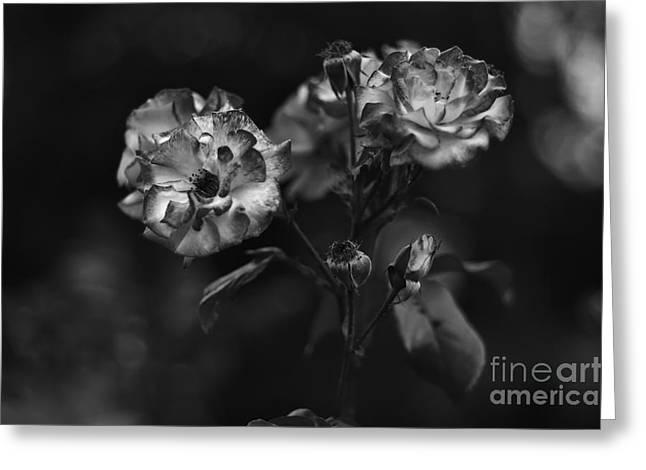 Wild Rose Greeting Card by Dariusz Gudowicz