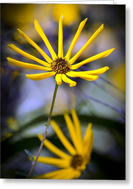 Wild Swamp Daisy Greeting Card by Carolyn Marshall