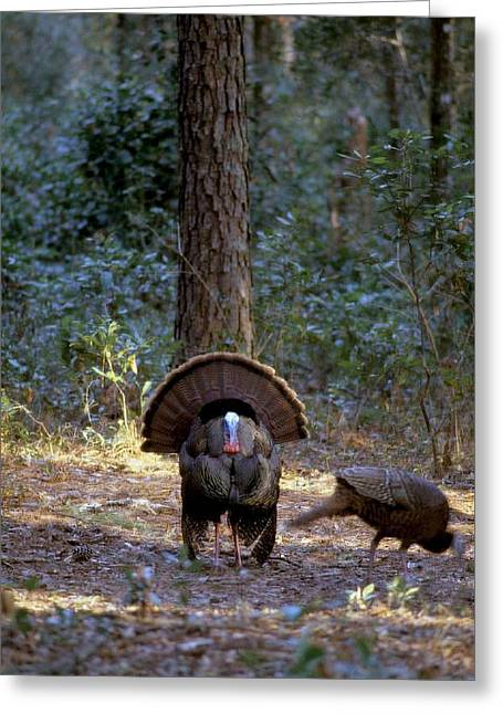 Wild Turkey Strutting Greeting Card by David Campione