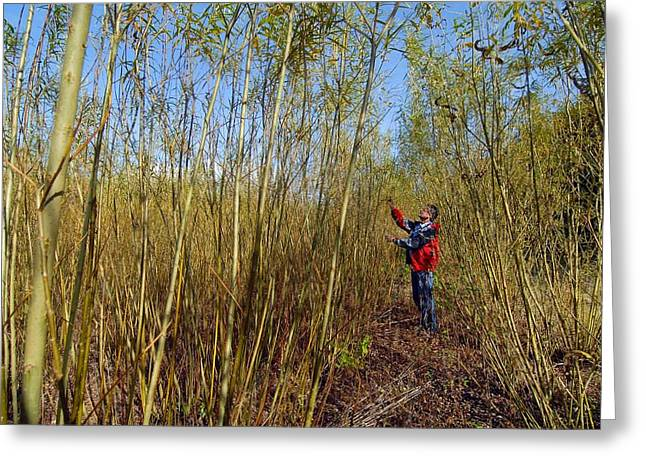 Willow Grown For Bioenergy Greeting Card by Chris Knapton