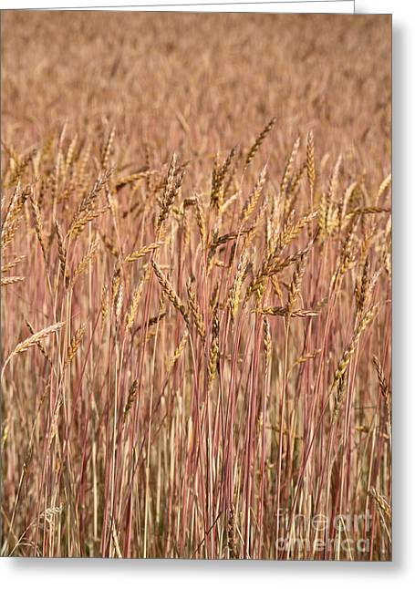 Winter Wheat Greeting Card by Ted Kinsman