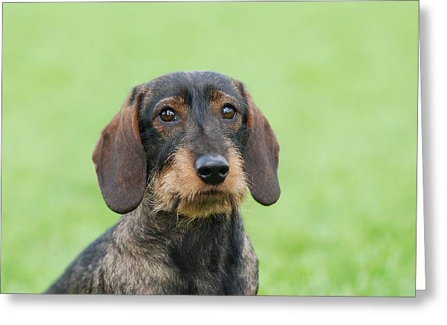 Wire-haired Dachshund Dog  Greeting Card by Waldek Dabrowski