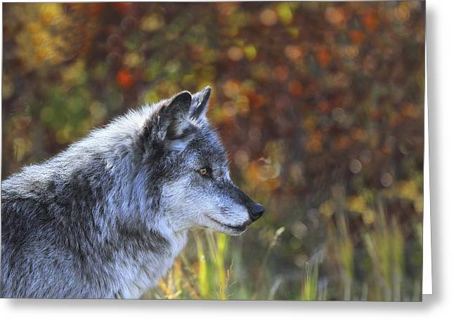 Wolf Canis Lupus Golden, British Greeting Card