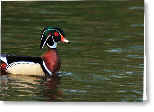 Greeting Card featuring the photograph Wood Duck by Josef Pittner