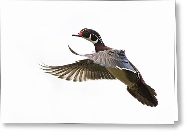 Wood Duck Greeting Card by Mircea Costina Photography