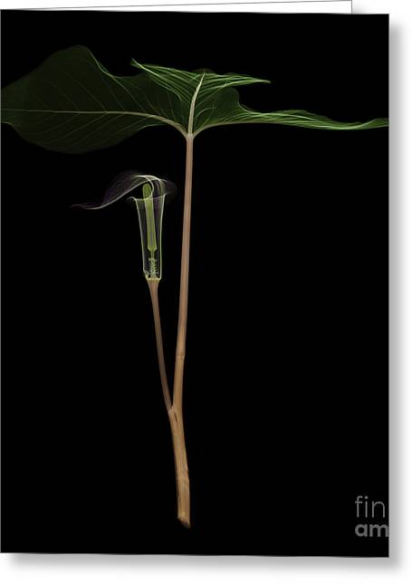 X-ray Of Jack-in-the-pulpit Greeting Card by Ted Kinsman