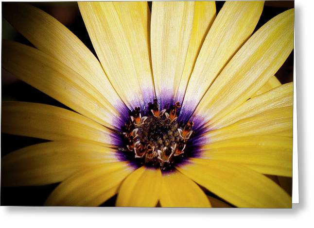 Yellow Daisy Greeting Card by David Patterson