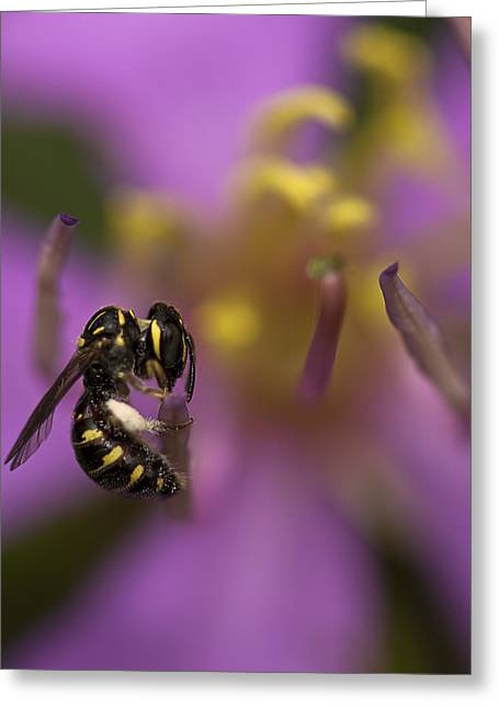 Yellow Faced Bee Greeting Card by Zoe Ferrie