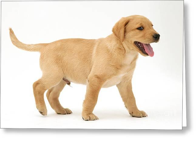 Yellow Labrador Retriever Puppy Greeting Card