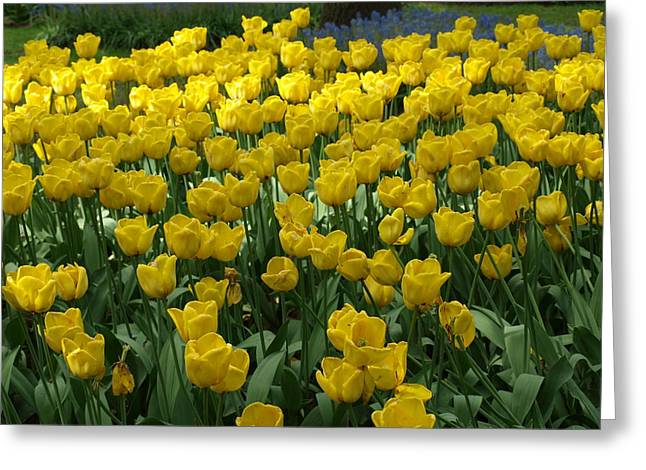 Yellow Tulips 2 Greeting Card by Larry Krussel
