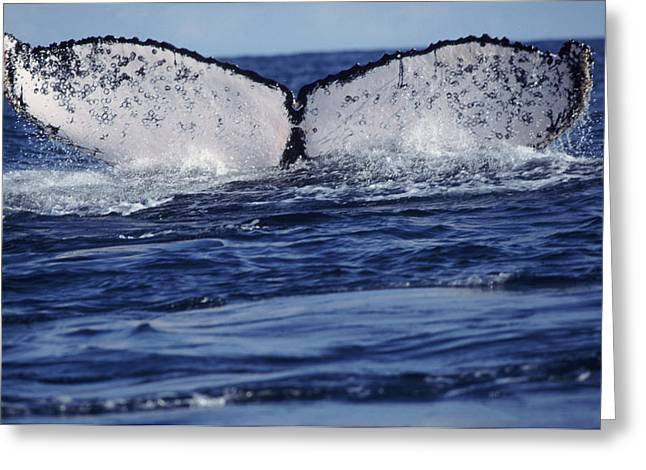 Humpback Whale Greeting Card by Alexis Rosenfeld