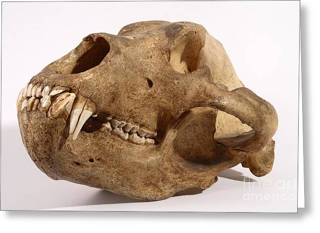 Kodiak Bear Skull Greeting Card by Ted Kinsman