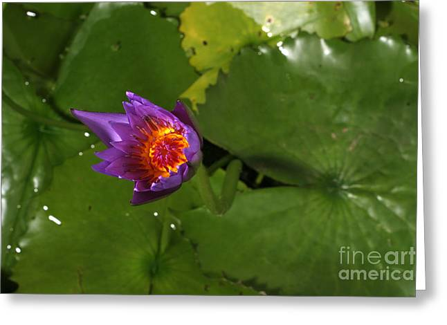 Waterlily Opening Part Of A Series Greeting Card