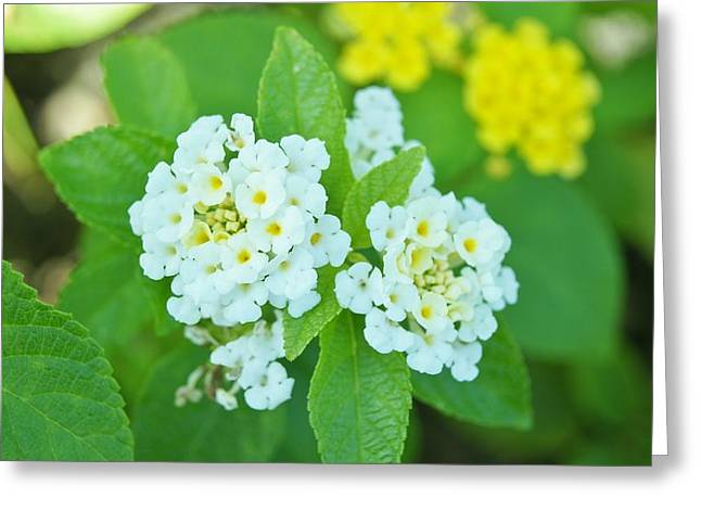 Weeping Lantana  Greeting Card by Gornganogphatchara Kalapun