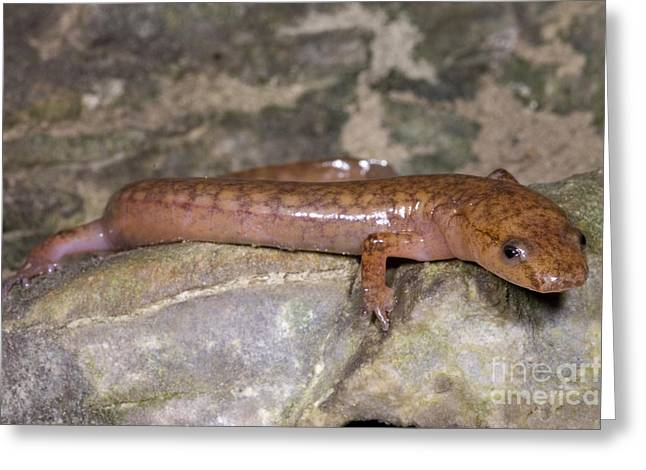 West Virginia Spring Salamander Greeting Card