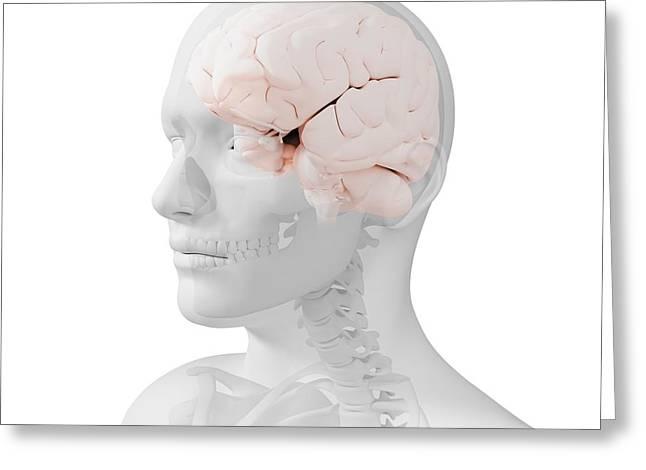 Head Anatomy, Artwork Greeting Card by Sciepro