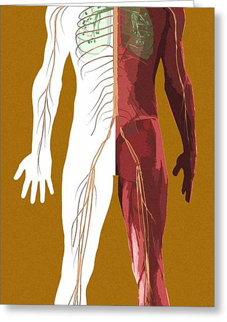 Human Anatomy, Artwork Greeting Card by Mehau Kulyk