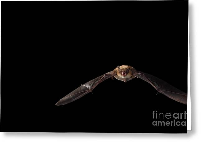 Little Brown Bat Greeting Card by Ted Kinsman