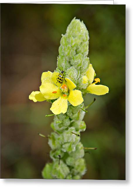 1209-1169 - Mullein Plant And Spotted Cucumber Beetle Greeting Card by Randy Forrester