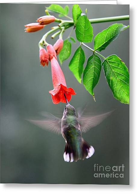 Ruby-throated Hummingbird Greeting Card