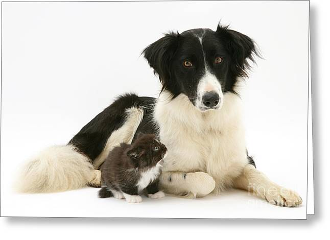 Border Collie And Kitten Greeting Card by Jane Burton