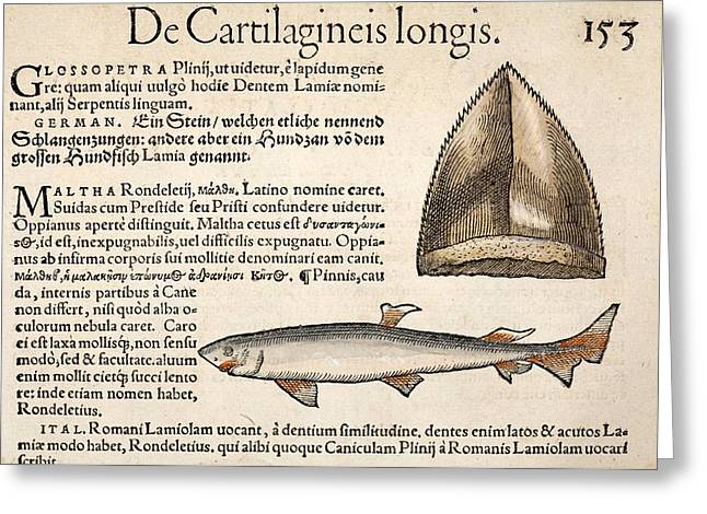 1560 Gesner First Fossil Illustration Greeting Card by Paul D Stewart