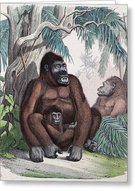 1853 Possible First Gorilla Illustration Greeting Card by Paul D Stewart