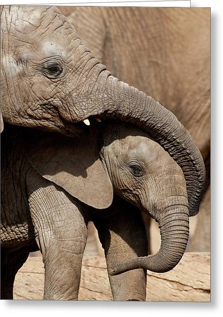 African Elephant Loxodonta Africana Greeting Card by San Diego Zoo