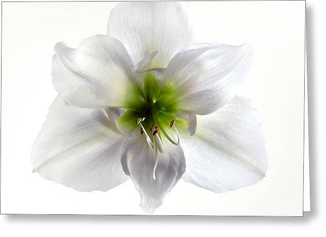 Amaryllis Greeting Card by Jane Rix