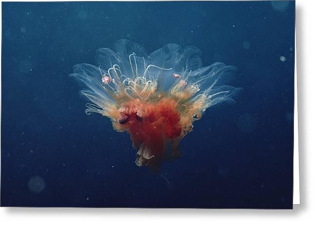 Arctic Jellyfish Off Baffin Island Greeting Card by Flip Nicklin
