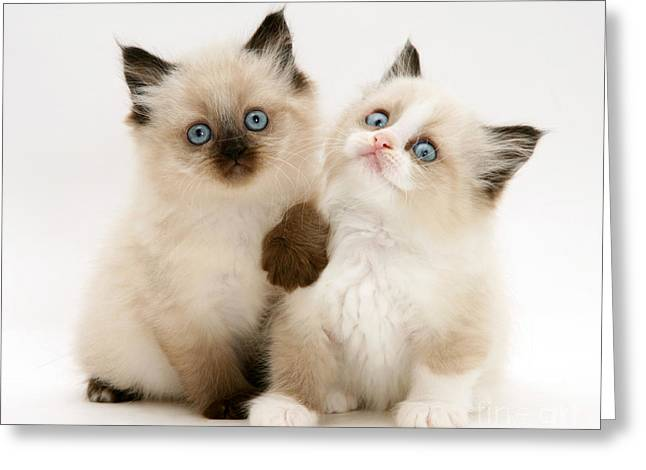 Birman-cross Kitten Greeting Card by Jane Burton