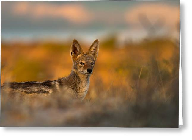 Black-backed Jackal Greeting Card
