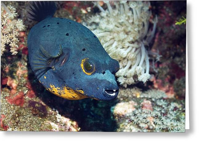 Blackspotted Puffer Greeting Card by Georgette Douwma