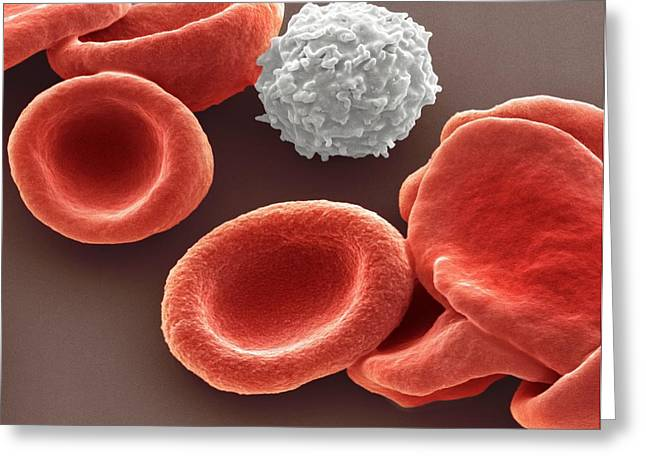 Blood Cells Greeting Card by Steve Gschmeissner
