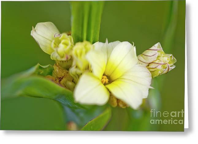 Blue-eyed Grass (sisyrinchium Striatum) Greeting Card by Dr Keith Wheeler