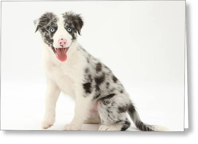Blue Merle Border Collie Pup Greeting Card