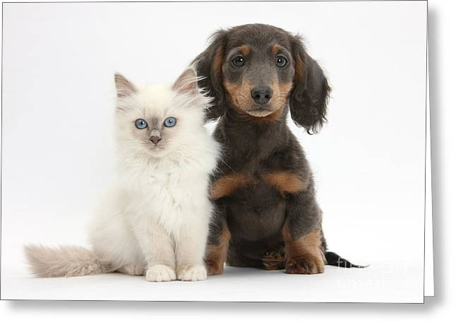 Blue-point Kitten & Dachshund Greeting Card by Mark Taylor