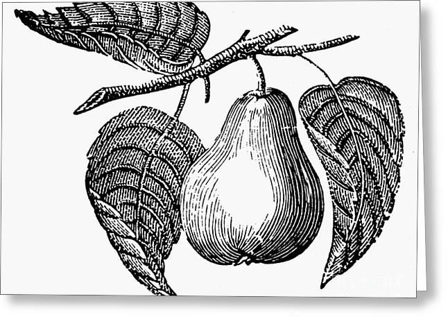 Botany: Pear Greeting Card by Granger